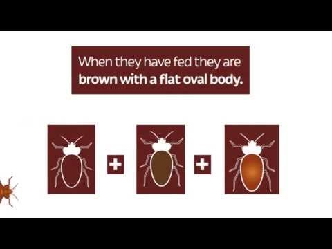 Bed Bug Life Cycle - Insect and Pest Control Services Birmingham, Midlands & UK