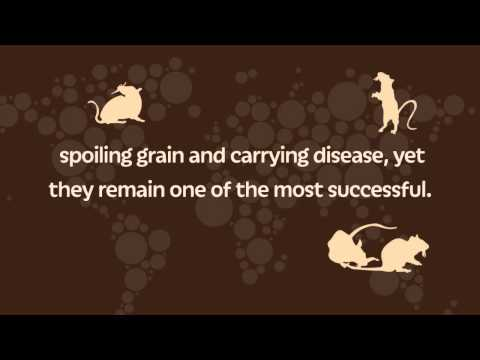 Facts About The Common Brown Rat - Pest Control Services Birmingham & UK