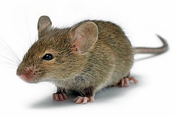 How to get rid of mice problem | Pestbusters