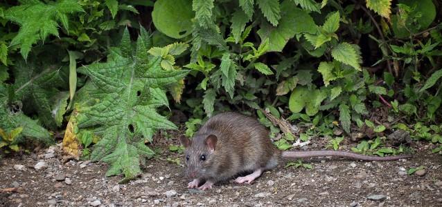 rat pests