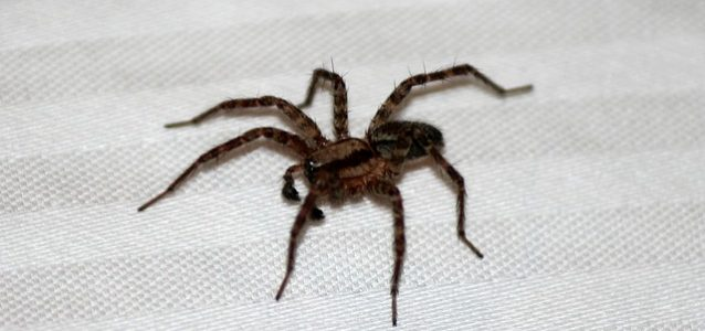 spider removal - pest control services