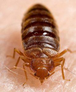 bedbugs in birmingham