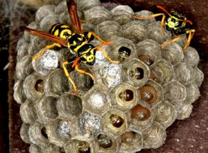 wasp control Birmingham local pest removal