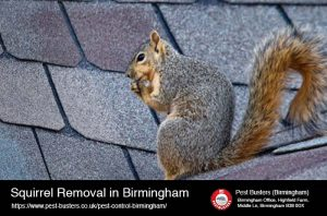 Squirrel removal in Birmingham