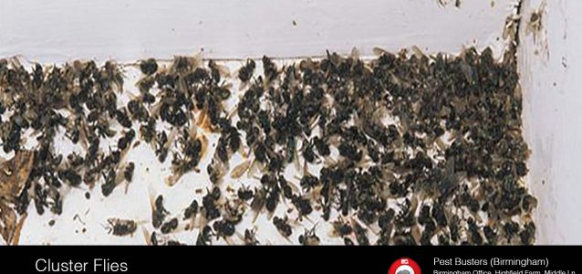 Cluster Flies UK