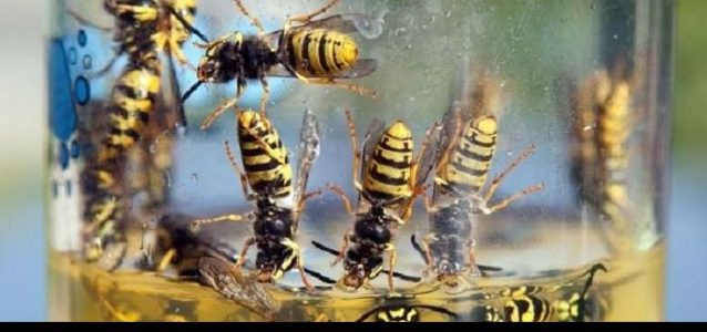 get rid of wasps in house