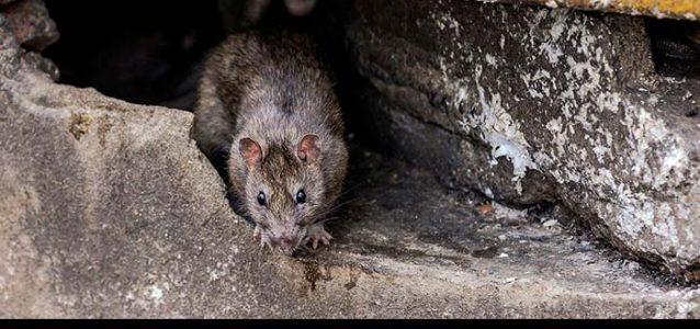 rats under decking